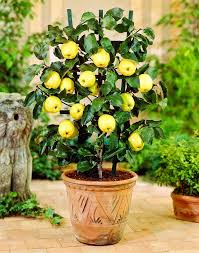 Meyer Lemon Trees For Sale  Fast Growing TreesWhat Fruit Trees Grow In Michigan