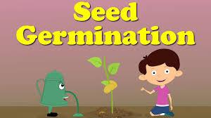 Grass Seed Germination Chart Seed Germination Aumsum