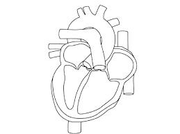 Human Heart Coloring Mistersofpuertoricoinfo