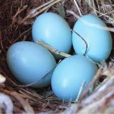 Light Blue Eggs In Nest Why Are Robin Eggs Blue