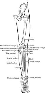 Health diagram bone skeleton leg knee science anchor chart human human body. Clinical Anatomy The Bones Of The Knee And Leg Dummies