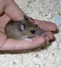 Image result for baby mouse