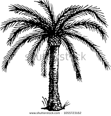 the coloring book drawing of palm tree the outline vector ilration isolated on a white