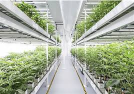 Grow Lights Massachusetts High Energy Pa S Medical Marijuana Growers Try To Tame A