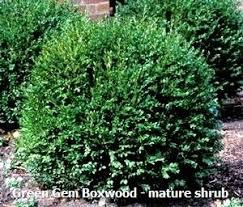 Boxwood Green Gem Size 1