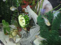 sometimes your fish will not know that the fresh vegetable is food try pushing some food they do like into the pleco feeder then when they eat it they