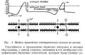 Реферат Молекулярные механизмы передачи импульса в мембранах  Молекулярные механизмы передачи импульса в мембранах нейронов Ионные каналы рецепторы