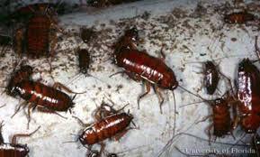 American Cockroach Periplaneta Americana Linnaeus