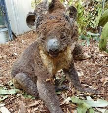 Animal Black Light Burns Koalas And Kangaroos Killed In Fires On Kangaroo Island