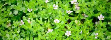 Image result for brahmi plant images
