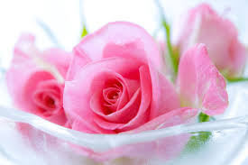 pink roses hd wallpapers top free
