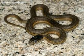 what do baby garden snakes eat what does a baby garter snake look like baby garter