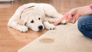 dog d on the carpet don t fret here s how to remove urine stains