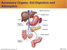 Accessory Organs Of The Digestive System Extraordinary Accessory Organs Of The Digestive System Liminality32