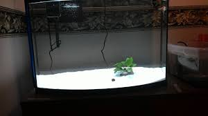 petsmart black goldfish. Wonderful Petsmart Apple Is A Petsmart Oranda I Donu0027t Expect Her Wen To Get Much Bigger Than  It Now Oscar Black Moor On Petsmart Goldfish