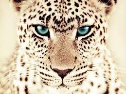 Resultado de imagen de leopardo