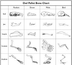 Owl Pellet Skeleton Reconstruction Chart 52 Punctilious Bone Chart For Owl Pellets