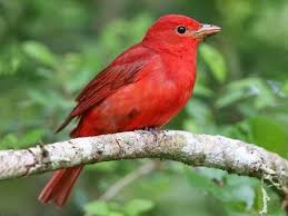picture of red bird. Interesting Red Summer Tanager Inside Picture Of Red Bird B