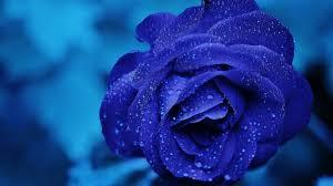 blue rose 4k je jpg