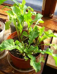 arugula in pot three arugula plants