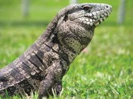 Black And White Tegu Lizard Facts Habitat Diet Pictures