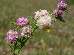 Trifolium tomentosum L. | Flora of Israel Online