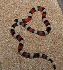milk snake size milk snakes for sale bhb reptiles