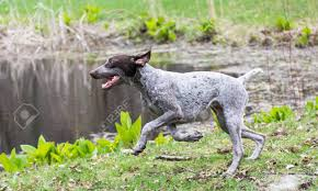 German Shorthaired Pointer Running By ...