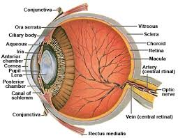 conjunctiva. anatomy of the human eye - cross-section view conjunctiva r