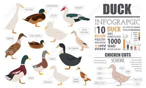 Domestic Duck Breeds Chart Poultry Farming Infographic Template Duck Breeding Flat Design
