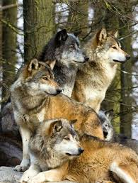 gray wolf pack in forest. Modren Forest Wolf Pack On Gray Pack In Forest E