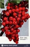red-veined pie plant