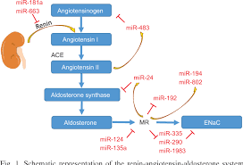 Figure 1 From Micrornas And The Regulation Of Aldosterone