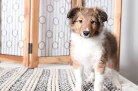 esme precious female akc sheltie puppy