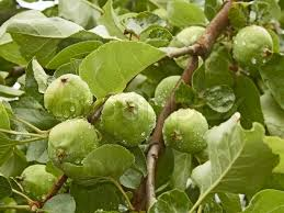 green apple fruit tree. green apple fruit tree s