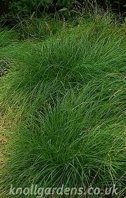 Carex remota – Knoll Gardens | Ornamental Grasses and Flowering ...
