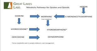 Blog Opioid Metabolism Chart Great Lakes Labs