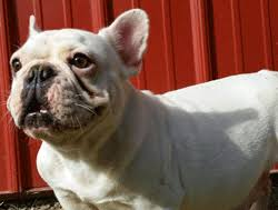 grown white french bulldog. Contemporary Bulldog French Bulldog Brandy Is A Very Outgoing Friendly Girl Who Loves Playing  With Other Dogs And Going On Walks She White Fawn Spots Inside Grown White French Bulldog B
