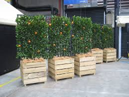 Apple Espalier Makes The Day  IgardendailyGrowing Cordon Fruit Trees