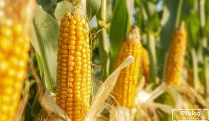 Pemupukan tanaman jagung terbagi menjadi 3 fase pemupukan. Cara Menanam Jagung Di Rumah Anti Ribet Panen Cepat