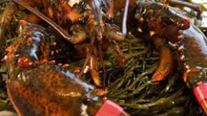 Live Maine Lobster for Sale with ...