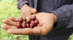 vinic lighting. Economic Challenges Of Fair Trade Coffee Vinic Lighting L