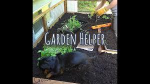 crusoe the dachshund is the best garden helper