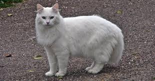 """Résultat de recherche d'images pour """"image de chat blanc"""""""