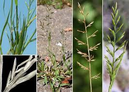 Catapodium rigidum (L.) C.E.Hubb. subsp. rigidum - Sistema ...