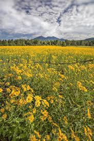 "Field of Dreams"" San Francisco Peaks, Flagstaff by Valerie Millett 