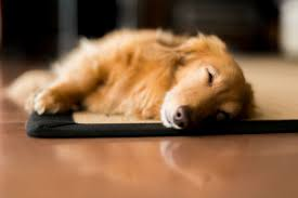 Dog Sleep Pattern Enchanting What Do Dogs Dream About Nuzzle Your GPS Pet Tracker