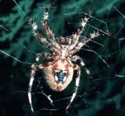 Urban Spider Chart Entomology