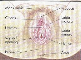 Human Anatomy Diagram Female HUMAN ANATOMY CHART