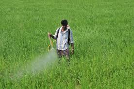 Image result for punjab rice farming spray